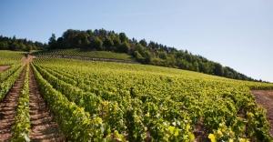 Vue des vignes du Mercurey 1er Cru Clos des Barraults du Domaine Michel Juillot