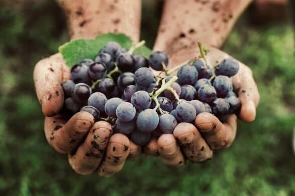 Une main de vigneron tenant des raisins